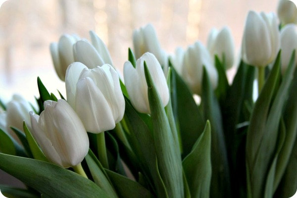 tulips_vita3