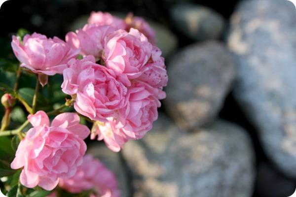 rosenros